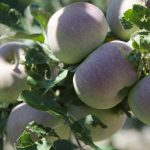 bwr-mora-idyll-apples_010