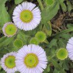 bwr-pt-lobos-flowers_007